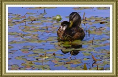 Summer Moments (PuffinArt) Tags: bird folhas water leaves digital duck nikon filter ave pato frame puffinart nikkor 18200 vr oilpaint d300 vandamalvig