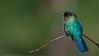Fiery-throarted Hummingbird (Raymond J Barlow) Tags: blue red green bird art nature hummingbird wildlife adventure workshop avian 200400vr avianexcellence nikond300 raymondbarlowtours