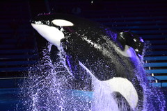 D (Megakillerwhales) Tags: ocean ky whale whales orca oceans seaworld takara killerwhale unna orcas kyuquot killerwhales orcawhales cetaceans cetacean seaworldsanantonio sakari orcawhale seaworldtexas oneocean tuar nalanidreamer megakillerwhales