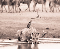 """Lion drinking in Etosha National Park, Namibia • <a style=""""font-size:0.8em;"""" href=""""https://www.flickr.com/photos/21540187@N07/8291788549/"""" target=""""_blank"""">View on Flickr</a>"""