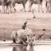 "Lion drinking in Etosha National Park, Namibia • <a style=""font-size:0.8em;"" href=""https://www.flickr.com/photos/21540187@N07/8291788549/"" target=""_blank"">View on Flickr</a>"