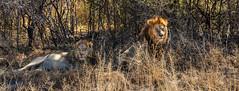 "Lions in Okavango Delta, Botswana • <a style=""font-size:0.8em;"" href=""https://www.flickr.com/photos/21540187@N07/8294353704/"" target=""_blank"">View on Flickr</a>"