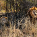 "Lions in Okavango Delta, Botswana • <a style=""font-size:0.8em;"" href=""https://www.flickr.com/photos/21540187@N07/8294353704/"" target=""_blank"">View on Flickr</a>"
