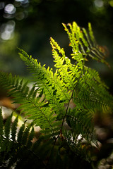 Highlighted (Future-Echoes) Tags: light shadow fern green nature dof bokeh frond depthoffield shade essex highlighted tiptree tiptreeheath