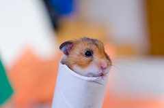 Hamster in a roll (Skippy The Other Bush Kangaroo) Tags: pet cute animal rodent nager small hamster roll toiletpaper d7000