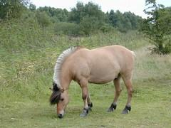 DSCN7266 (Hunter-Desportes) Tags: horse copenhagen denmark norwegian pony fjord ponies hest amager