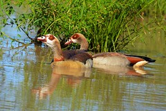 Egyptian Goose (Alopochen aegyptiacus) (Arno Meintjes Wildlife) Tags: africa park camp wallpaper holiday color art nature animal animals closeup southafrica bush wildlife safari explore endangered animalplanet mammalia rsa krugernationalpark mpumalanga krugerpark carnivore birdwatcher excellence big5 naturelovers knp egyptiangoose sanparks naturesfinest naturescall flickrsbest meintjes alopochenaegyptiaca colorphotoaward arnomeintjes naturewatcher internationalgeographic naturesgreenpeace