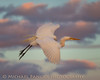 Great Egret in Flight at Sundown (Michael Pancier Photography) Tags: sunset birds us unitedstates florida birdsinflight wako greategret delraybeach palmbeachcounty wakodahatcheewetlands commercialphotography naturephotographer michaelpancierphotography avianphotography landscapephotographer avianphotographer fineartphotographer flyingegret michaelapancier wwwmichaelpancierphotographycom