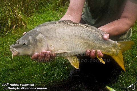 Leather Carp - Cyprinus carpio