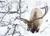 bullelk004 (Deby Dixon) Tags: travel nature landscape photography nationalpark wolf wildlife moose fox yellowstonenationalpark wyoming bison wyo bullelk debydixonphotography