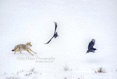 birdhatingcoyote001 (Deby Dixon) Tags: travel nature landscape photography nationalpark wolf wildlife moose fox yellowstonenationalpark wyoming bison wyo bullelk debydixonphotography