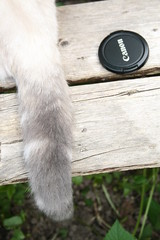 018 (piaktw) Tags: camera cat canon garden kitten tail britishshorthair lid colourpoint ztina luddkolts bluetortietabby