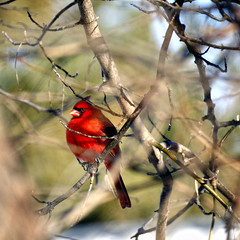 HCS  Chubby Cardinal edition (Wes Iversen) Tags: nature birds wildlife cardinals cardinaliscardinalis hcs nikkor18300mm clichsaturday