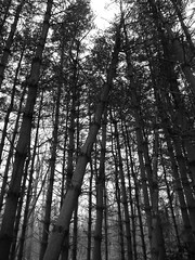 Some trees are in precarious positions (Dendroica cerulea) Tags: trees winter blackandwhite bw plant pine newjersey nj newbrunswick rutgersuniversity plantae conifer pinus pinophyta pinaceae pinusstrobus middlesexcounty rutgersgardens easternwhitepine pinopsida pinales