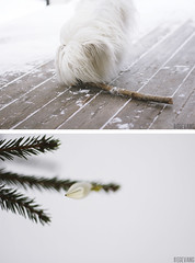 Coton de Tulear with a branch and christmas stuff (Egevang Sigrid) Tags: wood winter plants dog snow cold ice nature forest de outside branch sweden coton cotondetulear tulear