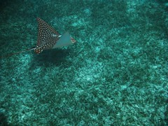 spotted eagle ray (NatConserve) Tags: ocean sea beach water beauty ray underwater eagle under spotted dailynaturetnc12