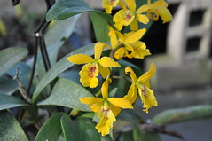 Epicattleya Don Herman (douneika) Tags: orchid orchidaceae herman don orquidea orchidea epicattleya