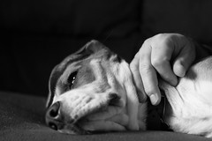 Daddy's Hand (Andrea and Gauss) Tags: dog beagle hand master gauss