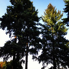 "Doug fir. • <a style=""font-size:0.8em;"" href=""https://www.flickr.com/photos/61640076@N04/8338534069/"" target=""_blank"">View on Flickr</a>"