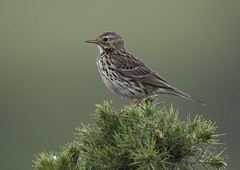 """meadow pipit,. ("""" yer tis my ansome """") Tags: nature grass birds canon wildlife ground devon exeter marsh jpeg meadowpipit lserieslenses anthuspratensis britishbirds devonwildlife canon7d canon300mmf28lisusm mygearandme mygearandmepremium mygearandmebronze flickrgrayclements canon14mk111tc"""