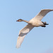 Young Tundra Swan in flight