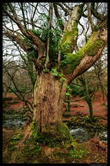 Old tree in Tollymore Forest (Alsal Photography) Tags: winter oldtree forestpark mournemountains tollymore bryansford ancientforest tamron247028vc