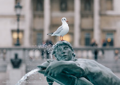 Meantime in Trafalgar Square (bayek photography) Tags: sculpture white bird london water fountain wings feather trafalgarsquare bayek bayekphotography