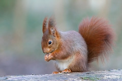 Ecureuil roux, Red Squirrel. (gphotosg) Tags: red de squirrel du parc sceaux ecureuils