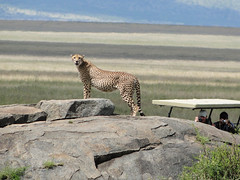 Savana Superstar (Marco Di Fabio) Tags: africa park parque parco grass rock tanzania bush jeep natural wildlife meadow reserve tourists safari erba national cheetah serengeti superstar roccia plain chita nacional pradera turisti turistas reserva rocha pianura hierba nazionale savana llanura acinonyxjubatus naturalreserve guepardo riserva serengetinationalpark prateria acinonyx jubatus riservanaturale ghepardo jamhuriyamuunganowatanzania