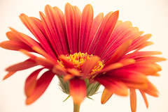"""Wake Up It's A Beautiful Morning"" (Deborah S-C (InTheFairyGarden)) Tags: orange flower colour macro green floral fleur yellow gold one petals stem flora bright vibrant gerbera only daisy colourful pollen ochre calyx filaments burnished anther sepal flowers2013~january"