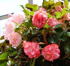 Auckland Botanical Gardens, Manurewa, South Auckland, New Zealand (Sandy Austin) Tags: pink newzealand white northisland variegated manurewa tuberousbegonia aucklandbotanicalgardens southauckland sandyaustin panasoniclumixdmcfz40
