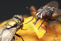 Moscas na fruta (Maxwel Rocha) Tags: brazil macro nature animal closeup brasil canon bug insect fly flickr natureza inseto flies animais mosca fruitfly macrophotography sx20 macrofotografia mpe 65mm mpe65mm moscadafruta macrolife eos600d maxwelrocha