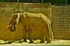 Elefante índico. Zoológico Metropolitano. Santiago de Chile (Lucas Burchard) Tags: elefante trompa paquidermo colmillo