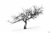 extraction (gregor H) Tags: winter mist snow tree landscape photography austria branch noiretblanc harmony balance lonelytree branching asymmetric vorarlberg imbalance thesecretlifeoftrees