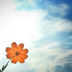 Hello (Leo Kuranaga) Tags: instagramapp square squareformat iphoneography uploaded:by=instagram normal beautiful clubsocial daybestpict floweroftheday flowerpower flower flowerporn gcs gfdaily gfjapan gangfamily igersjp igcaptures igfotogram igaddict instadaily instamood picoftheday primeshots cosmos thebestshooter shotaward naturestylesgf webstagram コスモス 花 空
