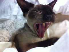 Tido Yawning. (Leo_Holmberg) Tags: 21411