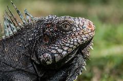 Iguana en Baradida