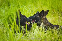 IMG_2928 (jabberjinx) Tags: dog dogs canon shepherd canine hh brindle dutchshepherd dogphotos hollandse dutchie paimenkoira hollandseherder canoneos7d canon7d hollanninpaimenkoira holsku