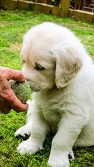 Charlie 6 weeks (Mark Rainbird) Tags: uk england dog canon puppy unitedkingdom retriever charlie powershots100 popeswood