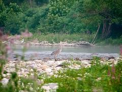 _S487432728 (Rosshox) Tags: naturalphotography natura wildlife action animals animali fujifilm fujifilmxs1 volatili