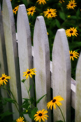 HFF! (JMS2) Tags: fence friday daisies yellow blackeyedsusans summer flowers sony