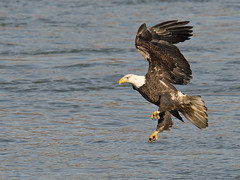 Bald Eagle (Brian E Kushner) Tags: baldeagle bald eagle fish fishing wings talon beak king flying flight inflight haliaeetusleucocephalus conowingo dam conowingodam darlington md maryland d800 nikond800 bird birds bkushner wildlife animals birdwatcher brianekushner nikon600mmf4afsvr afsnikkor600mmf4gedvr 600mm f4 nikor