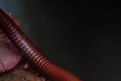 Creep (Navid Nooren) Tags: macro insect budget centipede creep reversering insectcreep