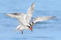 3 Terns 1 Fish (bmse) Tags: canon 7d2 400mm f56 l bmse salah baazizi wingsinmotion elegant tern bolsa chica fish fishing theft stealing