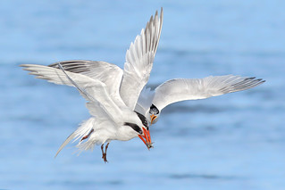 3 Terns 1 Fish