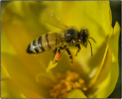 Bee_SAF3465-1 (sara97) Tags: bee copyright2016saraannefinke flyinginsect insect missouri nature outdoors photobysaraannefinke pollinator saintlouis towergrovepark urbanpark wildlife