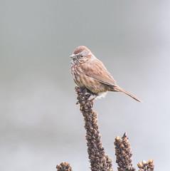 Top Dog. (Omygodtom) Tags: wild animalplanet abstract bird bokeh nikon70300mmvrlens d7100 sparrow simple wildlife