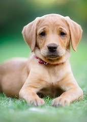 Rosie, aged nine weeks (Jonathan Casey) Tags: puppy labrador chocolate dog d810 200mm f2 vr nikon