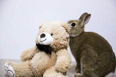 Ichigo san 305  (mensore) Tags: brown bunny cute ichigo netherlanddwarf rabbit