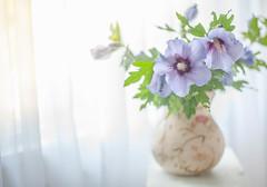 Maggie's Hibiscus (jm atkinson) Tags: hibiscus bokehwednesday hbw still